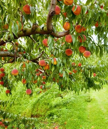 Loving This Contender Peach Tree Root Stock On Zulily Zulilyfinds Peach Trees Red Haven Fast Growing Trees