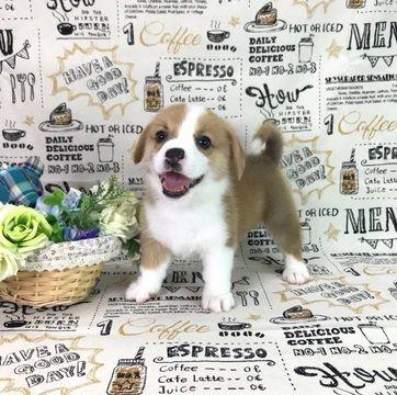 Pembroke Welsh Corgi Puppy For Sale In Los Angeles Ca Usa Adn 98895 On Puppyfinder Com Gender Male Age Corgi Corgi Puppies For Sale Pembroke Welsh Corgi