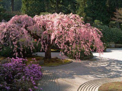 Cherry Tree Blossoms Over Rock Garden In The Japanese Gardens Washington Park Portland Oregon Japanese Garden Rock Garden Garden Design