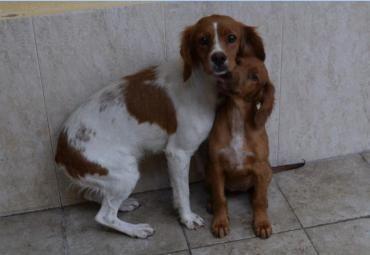 Hund Epagneul Breton Reinrassig Hundin 2 5 Jahre Spanien