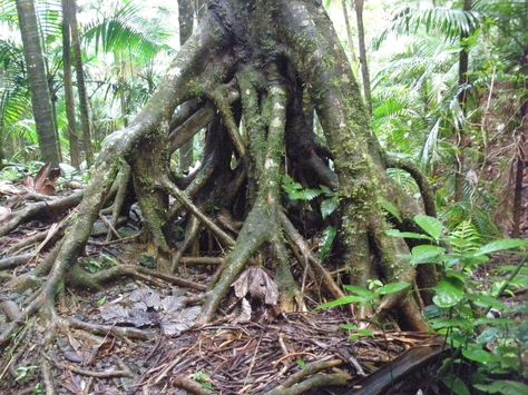 The roots of a Cecropia peltata tree (commonly called trumpet tree, snakewood, etc.) in Puerto Rico.