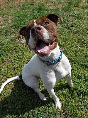 Huntsville Al Pit Bull Terrier Meet Lucas A Dog For Adoption