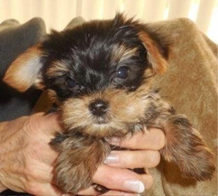Tim A Yorkshire Terrier Puppy Yorkshireterrier Yorkshireterrierpuppies Yorkshire Terrier Puppies Yorkshire Terrier Puppies