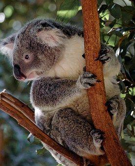87 Koala Pictures Koala Lone Pine Koala Sanctuary Koala Bear