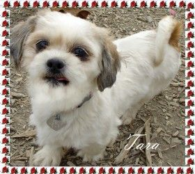 Tara Is An Adoptable Shih Tzu Dog In Toledo Oh My Name Is Tara And I Am 6 Years Old I Was A Breeder Dog But I Have Been Rescu Shih