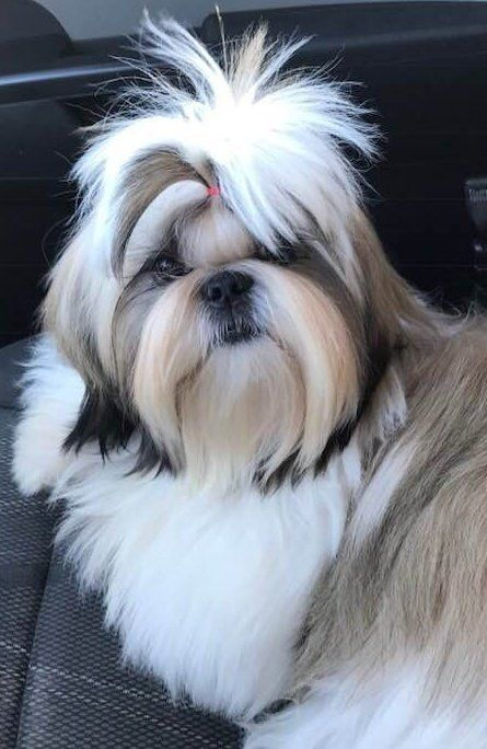 Palaquin In Illinois Find Your Shih Tzu Puppy Good Dog Shih