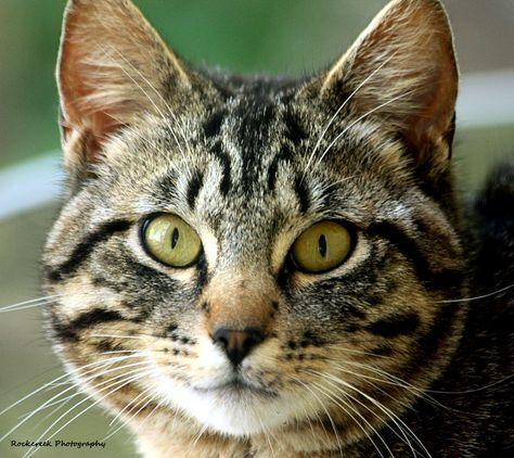 Silver Tabby Cat Portrait Silver Tabby Cat Tabby Cat Names Cats
