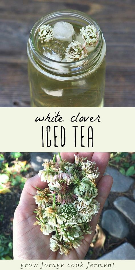 White Clover Iced Tea White clover iced tea is not only delicious but is also high in vitamins and minerals. Learn how to make this tasty and refreshing foraged drink! The post White Clover Iced Tea appeared first on Getränk. Yummy Drinks, Healthy Drinks, Refreshing Drinks, Iced Tea Recipes, Herb Recipes, Fast Recipes, Pumpkin Recipes, Healthy Recipes, Edible Wild Plants