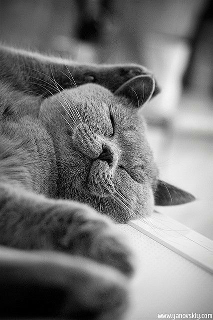 Pin By Carole Price On Cute Animals In 2020 British Shorthair