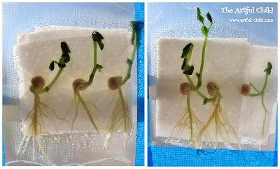 The Pea Plant Experiment from The Artful Child
