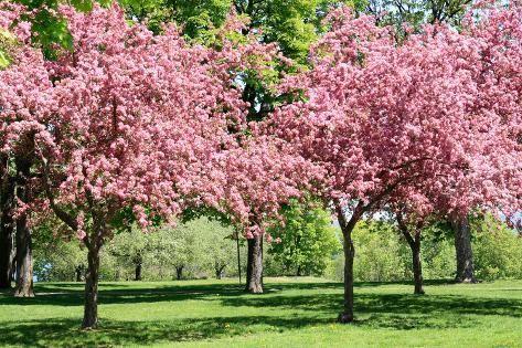 Blooming Cherry Garden Photographic Print Alextheshutterbug Art Com In 2021 Pink Blossom Tree Wisteria Tree Cherry Blossom Tree