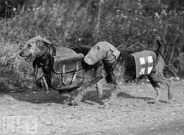 Airedale terriers and Irish terriers were messenger dogs during WW1 and WW2