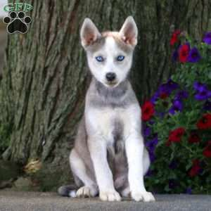 Trisha Siberian Husky Mix Puppy For Sale In Pennsylvania Dogs