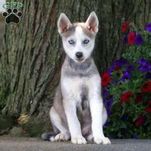 Trisha Siberian Husky Mix Puppy For Sale In Pennsylvania Dogs