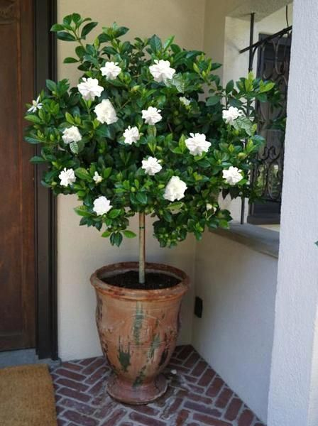 Double Blooming Gardenia Tree In 2020 Gardenia Trees Potted Trees Patio Plants