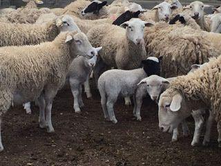 تفسير الاحلام مجانا تفسير حلم قطيع الأغنام رؤية الغنم في المنام Dream Interpretation Sheep Animals