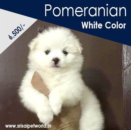 Get Pomeranian Puppies In Delhi Noida Gurgaon Haryana Ambala