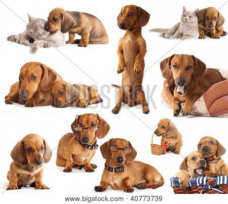 Dog Dachshund In Different Poses Poster In 2020 Dachshund