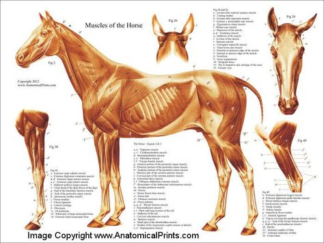 """Horse Muscular Anatomy Poster - 18"""" X 24"""""""