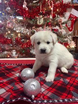 Litter Of 5 Pomsky Puppies For Sale In Augusta Wv Adn 60126 On Puppyfinder Com Gender Male Age 8 W Pomsky Puppies Puppies For Sale Pomsky Puppies For Sale