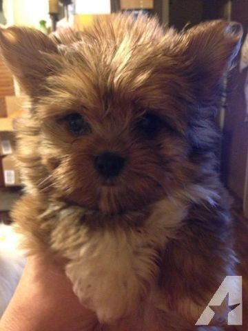 Absolutely Adorable Yorkie Pomeranian Mix Puppy For Sale In Rescue Me Pomeranian Rescue Home In 2020 Pomeranian Mix Puppies Yorkie Chihuahua Mix Yorkie Pomeranian Mix