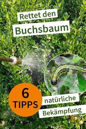 Wie Kann Man Den Buchsbaumzunsler Bekampfen Und Das Ganz Ohne Chemie Buchsbaumzunsler Buchsbaumzunsler Bekampfen Garten Pflanzen