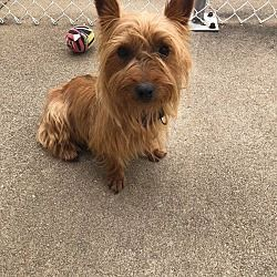 Urbana Ohio Yorkie Yorkshire Terrier Meet Sophie Turner A For Adoption Https Www Yorkshire Terrier Puppies Yorkie Yorkshire Terrier Yorkshire Terrier