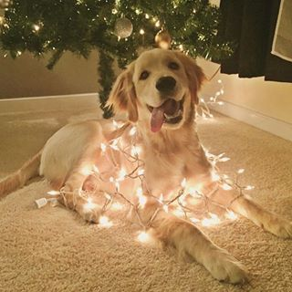 This golden retriever wrapped in festive lights.