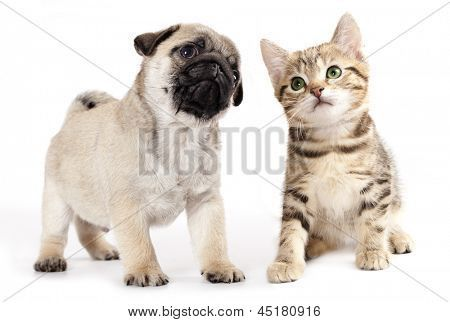 Pug Puppy And Kitten Poster Pets Cats Puppies