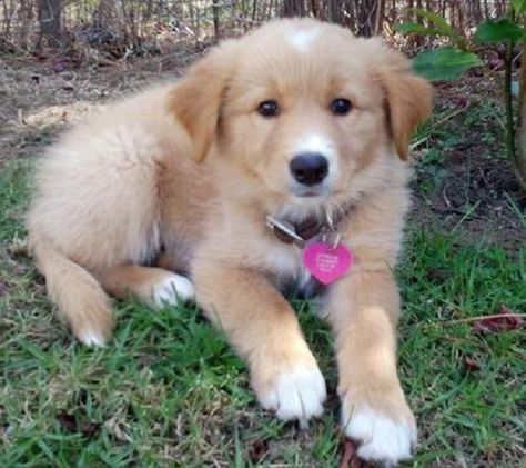 Golden Retriever Border Collie Mix Puppies For Sale Zoe Fans