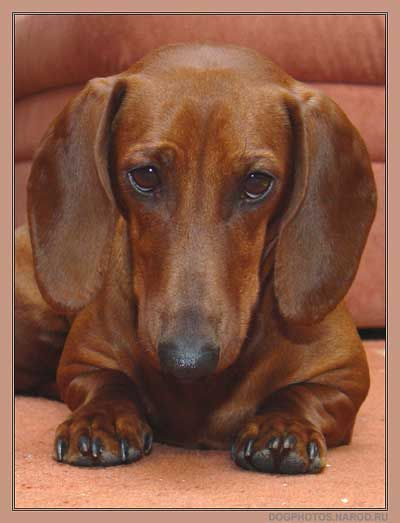 This May Be The Most Beautiful Dachshund Face I Have Ever Seen