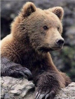 The Kodiak Bear - The Largest Bears In the USA