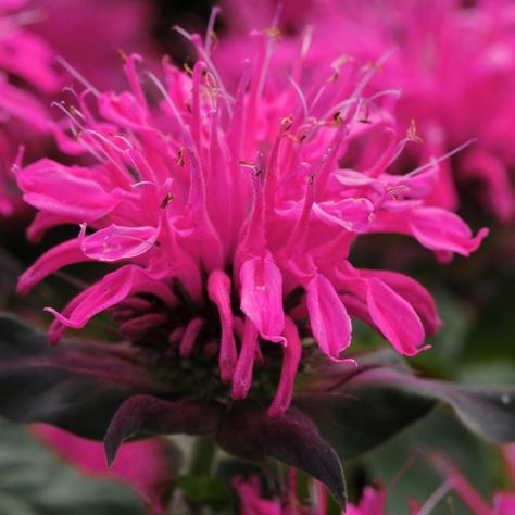 Ten Plants Mosquitoes Don't Like (With images) | Bee balm ...