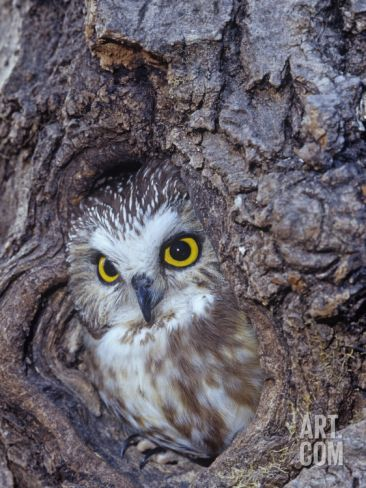 Northern Saw-Whet Owl in a Tree Hollow (Aegolius Acadius), North America Photographic Print by Tom Ulrich at Art.com