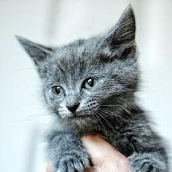Pet Card Russian Blue Cat Pets Kitten Adoption