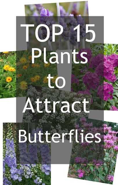 Butterfly Attracting Plants Plants That Attract Butterflies Butterfly Plants Butterfly Garden Plants