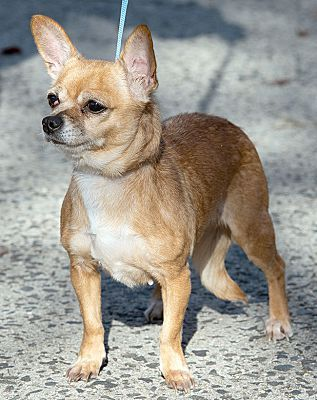 New Haven Ct Chihuahua Meet Chrissy A Pet For Adoption Pets