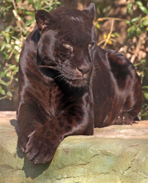 jaguar Mowgli artis by safi kok Nature Animals, Animals And Pets, Wild Animals, Baby Animals, Beautiful Cats, Animals Beautiful, Black Jaguar, Majestic Animals, Cute Funny Animals