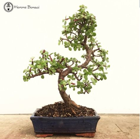Crassula Jade Bonsai Tree From Herons Bonsai Uk Jade Bonsai Indoor Bonsai Tree Bonsai Tree