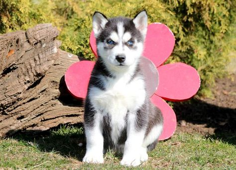 Siberian Husky Puppy For Sale In Mount Joy Pa Adn 71023 On