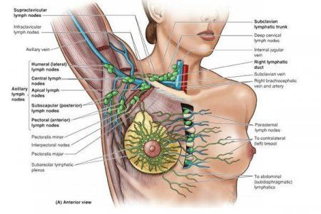 The Axillary Nodes Are A Group Of Lymph Nodes Located In The Axillary Or Armpit Region Of The Body They Lymph Massage Lymphatic Drainage Massage Lymph Nodes