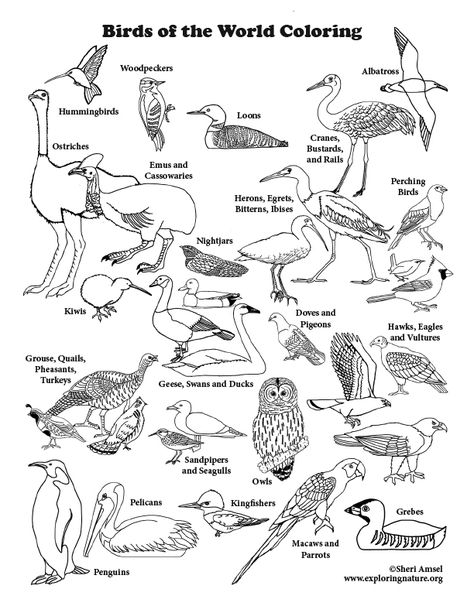 Learn About Birds On Exploringnature Org Draws Birds Coloring
