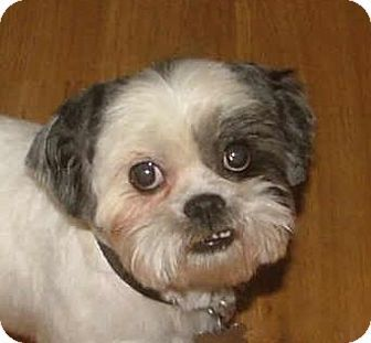 Rochester Ny Shih Tzu Meet Cash A Dog For Adoption Shih Tzu