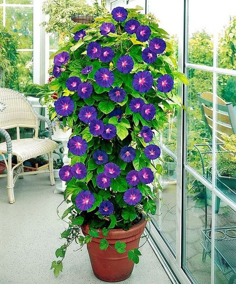Tomato Plants Container pot with Morning Glory plant. - Add a vertical touch in your container garden by growing climbing plants for containers. Must see these 24 best vines for pots. Flower Pots, Garden Vines, Plants, Planting Flowers, Flowers, Flower Garden, Flower Seeds, Tomato Cages, Container Gardening