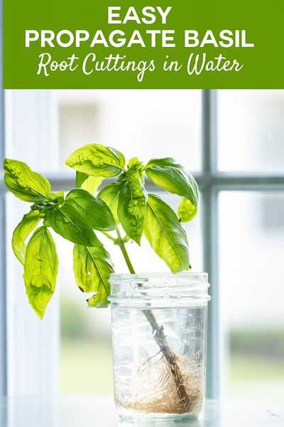 Propagate Basil You Are Not Going To Believe How Easy It Is To Propagate Basil Rooting Basil Is The Best Way To Get Lots O Herbs Basil Plant Propagate Basil