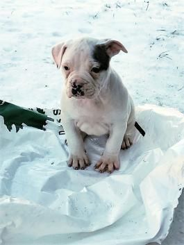 Blue Eye American Bulldog Puppy For Sale In Rochester Ny Lancaster Puppies Bulldog Puppies For Sale American Bulldog Puppies Bulldog Puppies