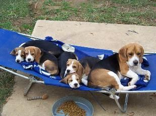 Miller Beagle Pups Akc Beagles Puppies For Sale North Carolina