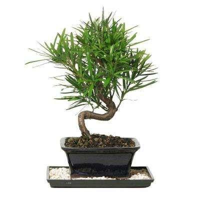 Non Flowering Bonsai Trees Indoor Plants The Home Depot Indoor Bonsai Tree Bonsai Tree Bonsai