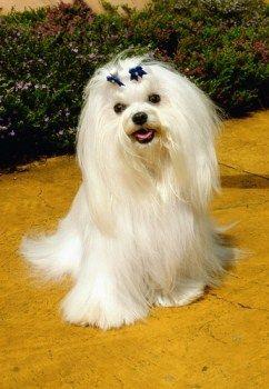 Maltese Dog Teeth And Dental Care Maltese Dogs Maltese Puppy