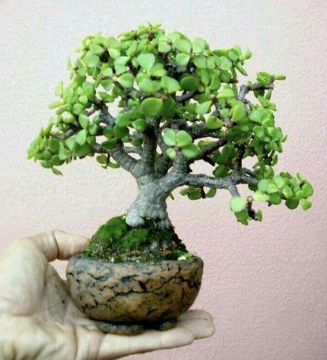 What Is An Outdoor Bonsai Crassula Bonsai Plante Exterieur